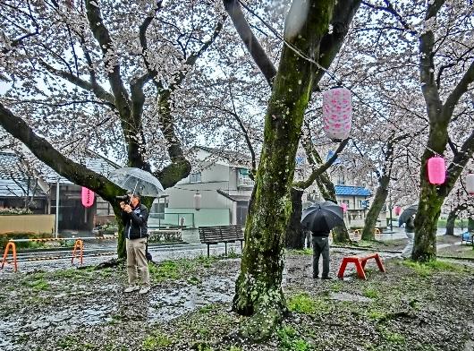 4-7 ③雨の桜並木 26