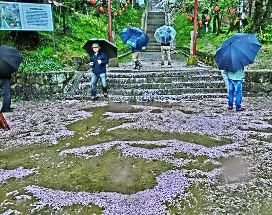 4-7 ⑤雨の石段桜 36