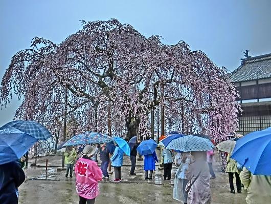 4-7 ⑥雨の舞台桜 40