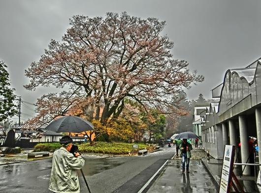 4-7 ⑦雨の安富桜 51