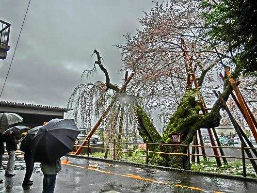 4-7 ⑧雨の夫婦桜 55