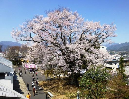 4-8 ⑬美博の安富桜 13