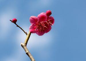 3-22 リンゴ並木の梅 091