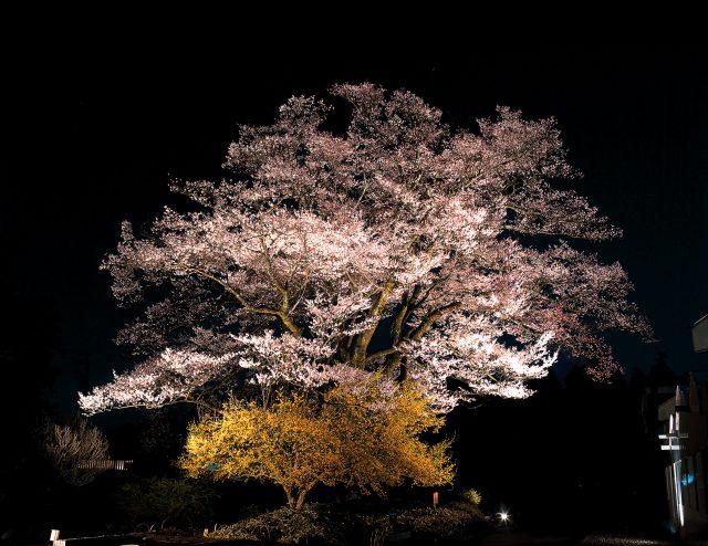 安富桜(ライトアップ)