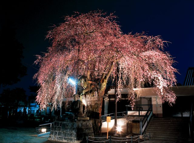 専照寺の桜