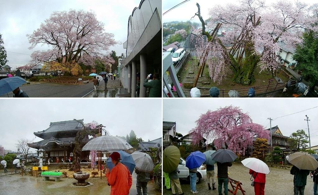 4-11 雨の安富桜 235-4