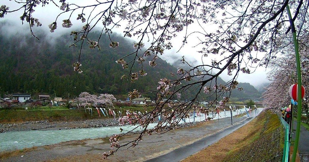 4-11 雨の遠山桜 254