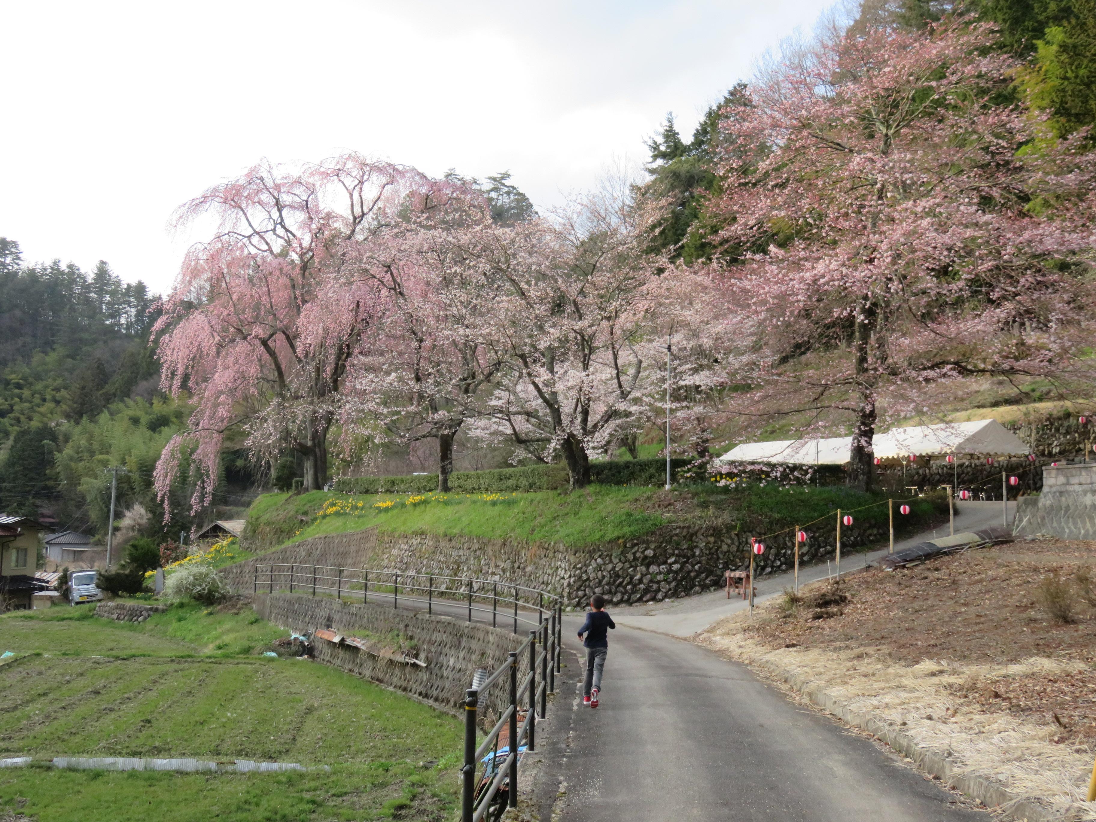 H29.4.16 氏乗枝垂れ桜2