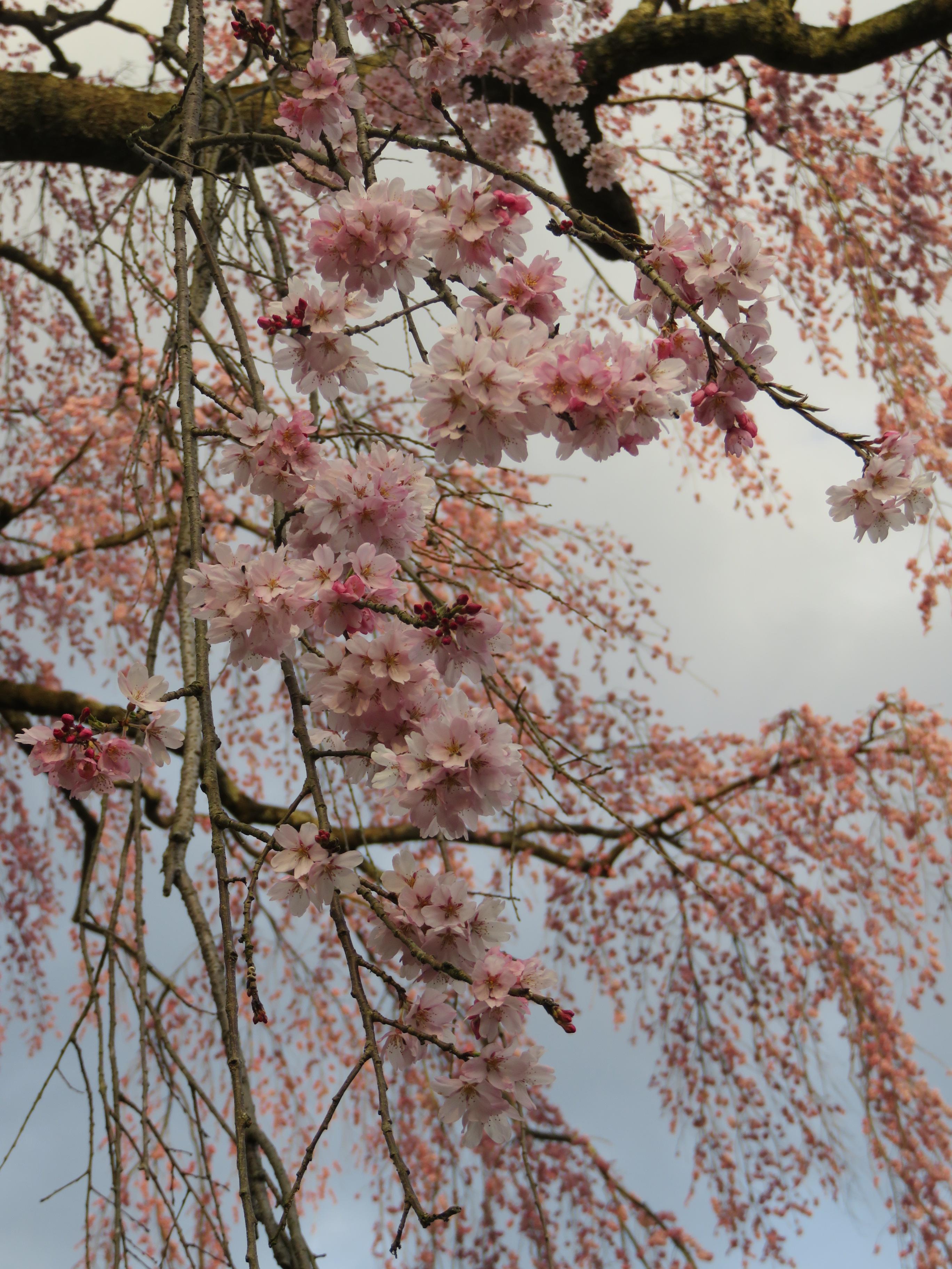 H29.4.16 氏乗枝垂れ桜3