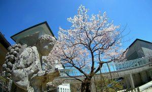 4-28 あおいの桜 476