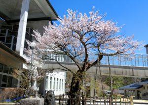 4-28 あおいの桜 7055