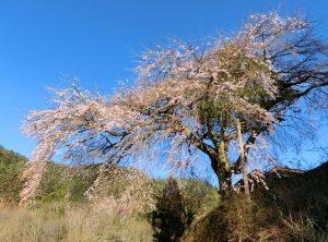 4-28 与助の桜 111