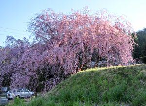 4-28 売木の枝垂れ 109
