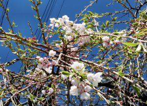 4-28 首検分碑の桜 7073