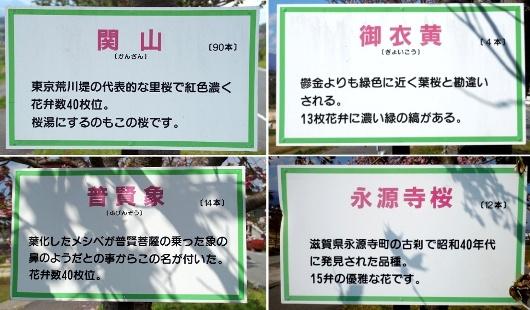 np_20160305_sakuramori10