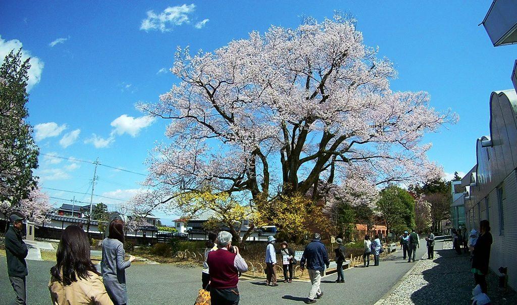 4-13 安富桜 269