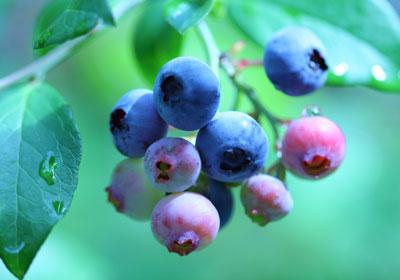p_blueberry