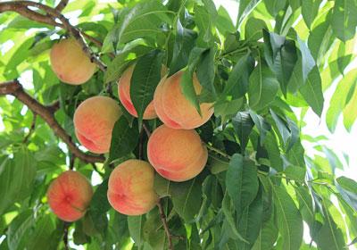 p_peach