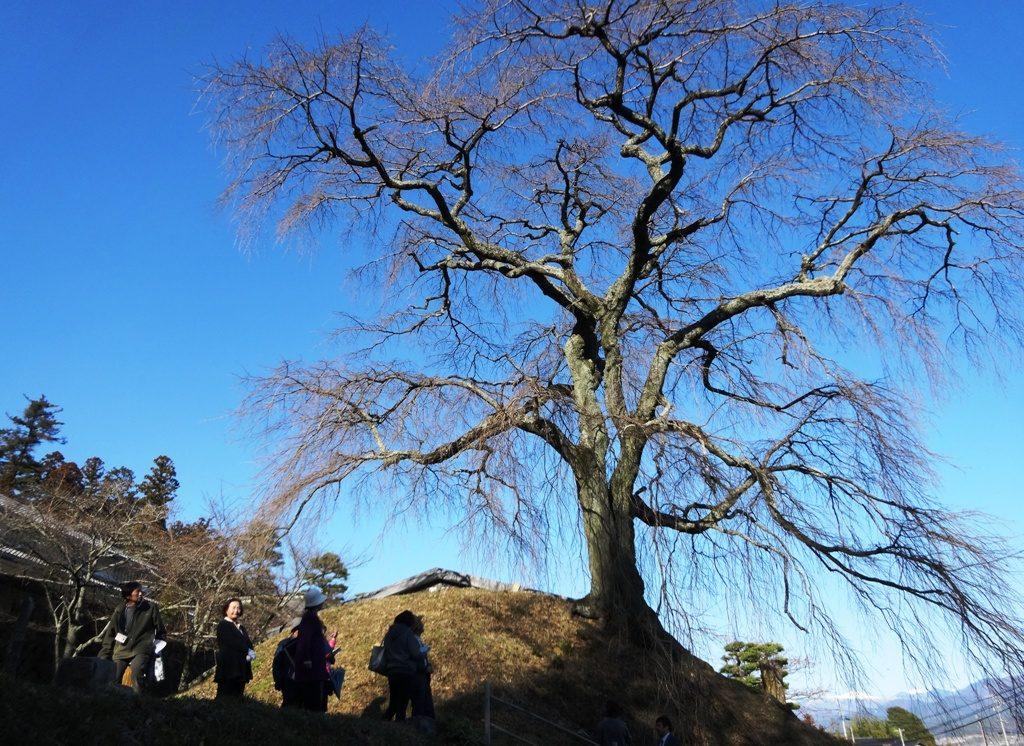 3-12 石塚桜 384