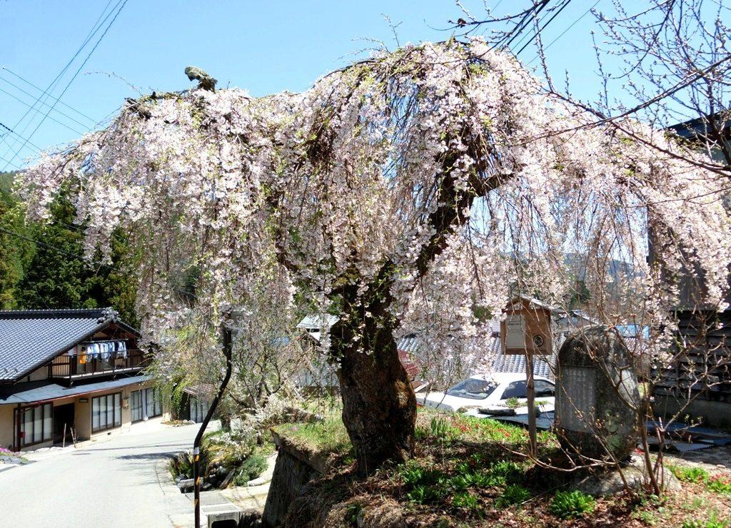 4-19 首検分碑の桜 773