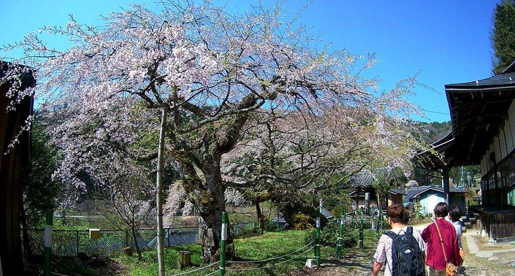 4-21 清南寺の夫婦桜 084