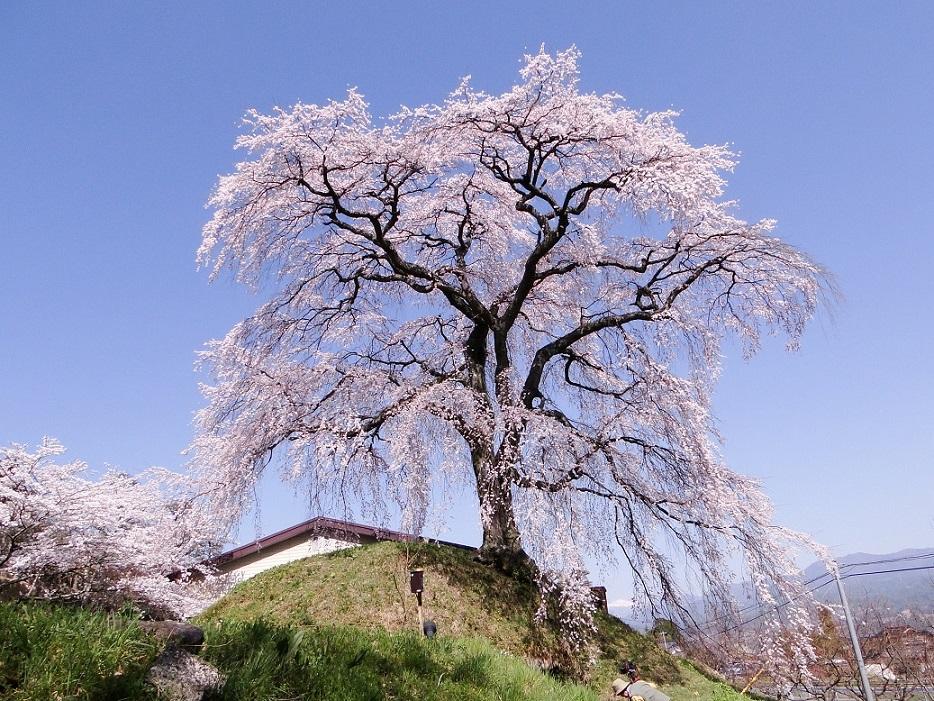 麻績の里 石塚の桜
