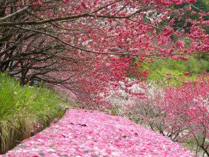 日本一の花桃の里_s