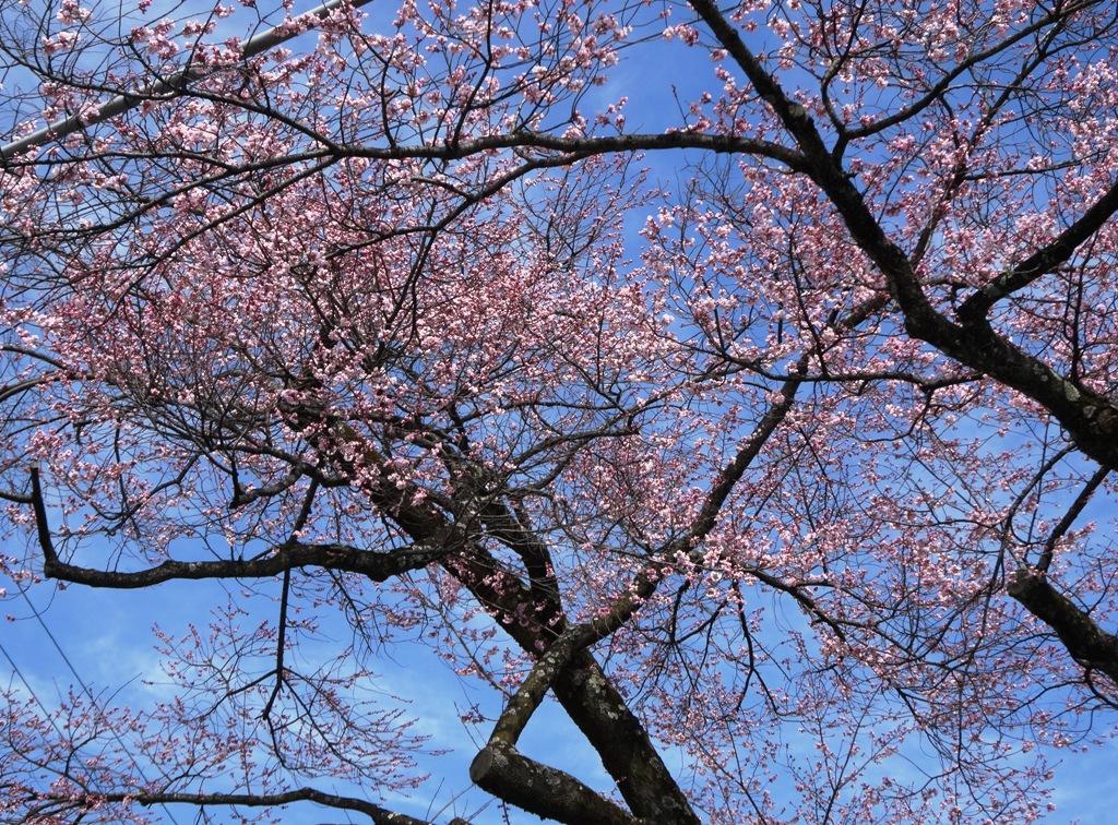 3-26 桜並木 080