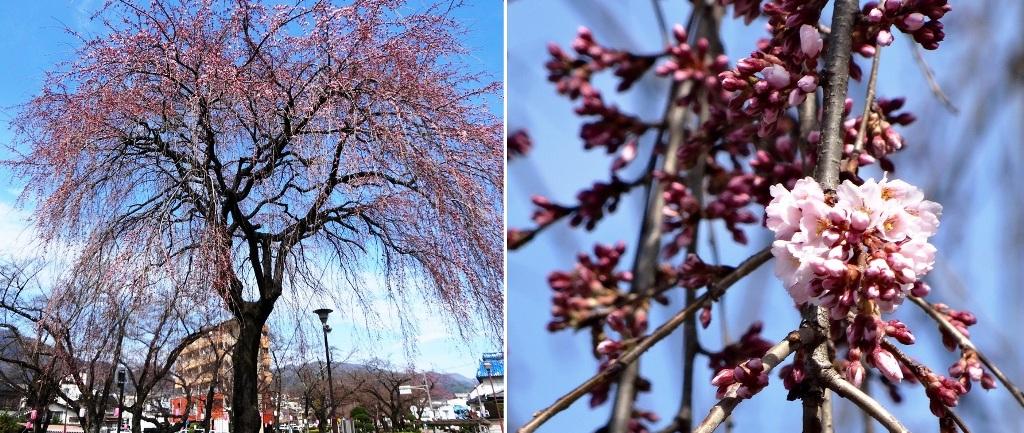 3-26 桜並木 085-2