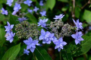 ①山紫陽花p_1034