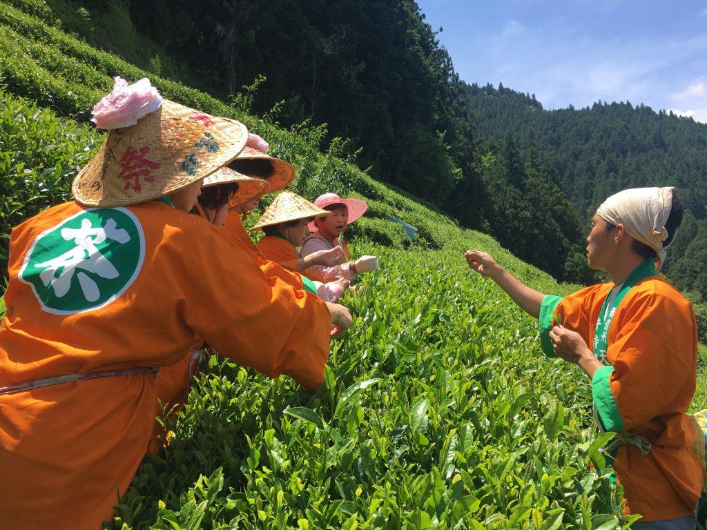 ⑩お茶摘み