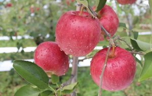 りんご狩り_s