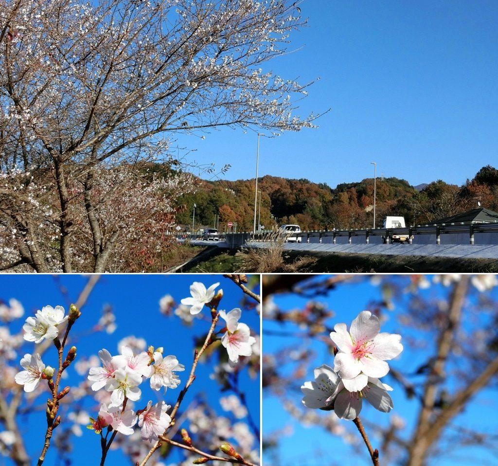 11-20 十月桜 795-3