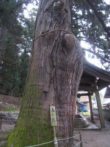 大州七椙神社(御神木)