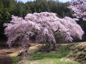 写真②三太夫の桜