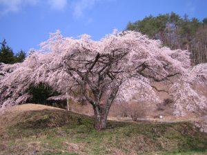 写真③福美桜