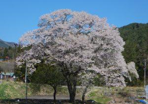 写真⑨御所桜