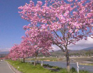 写真⑪天龍峡桜街道