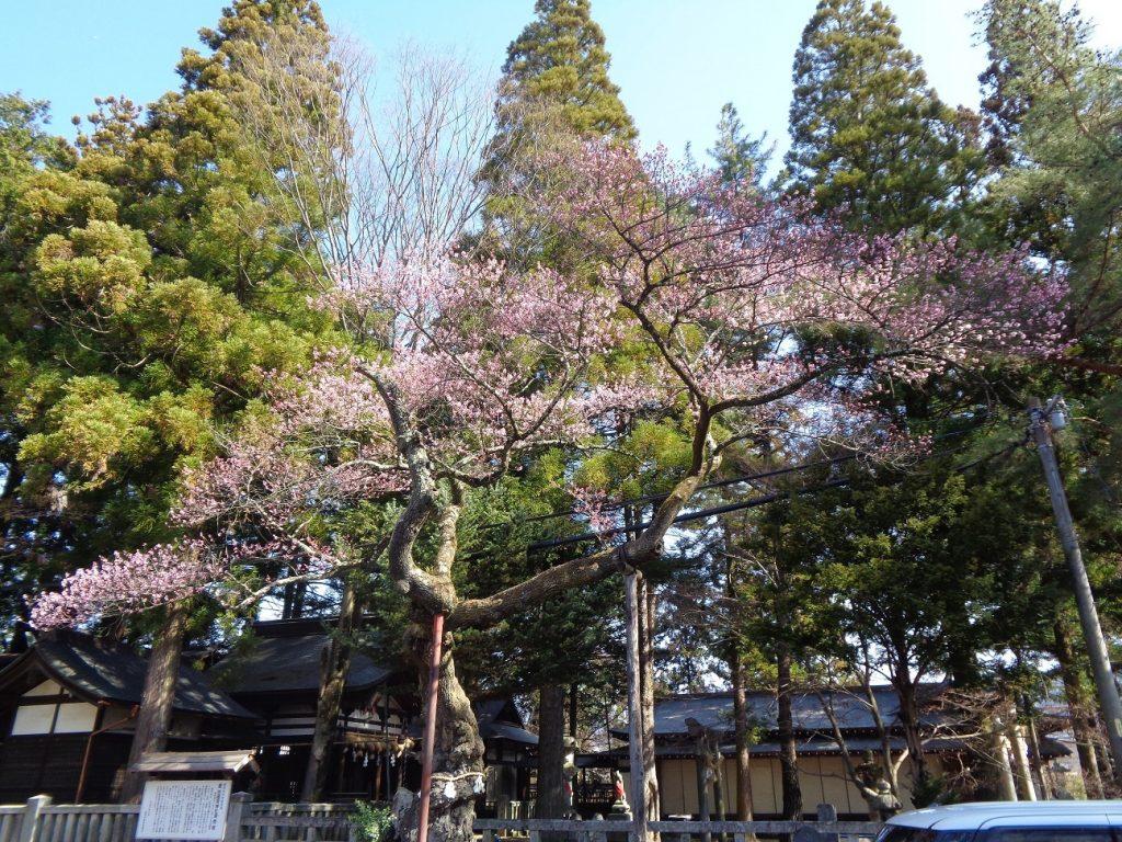 清秀桜(縮小)