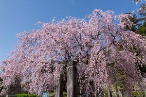 麻績舞台桜 (1本桜)①