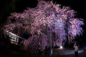 1本桜「杵原学校」