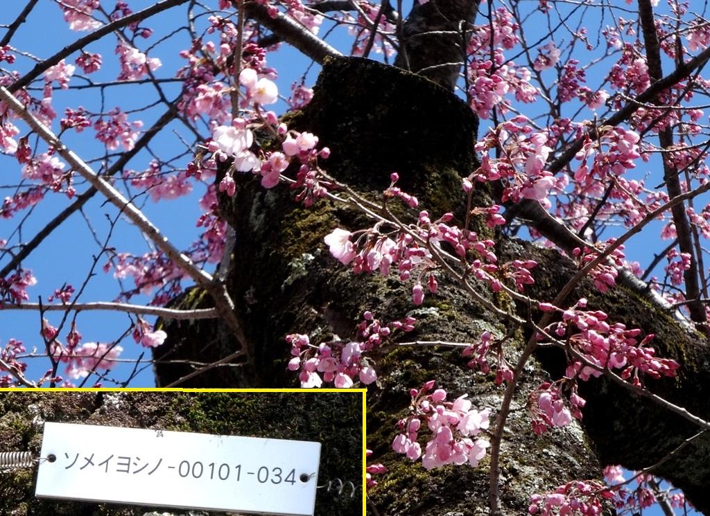 3-23 桜並木 140-2
