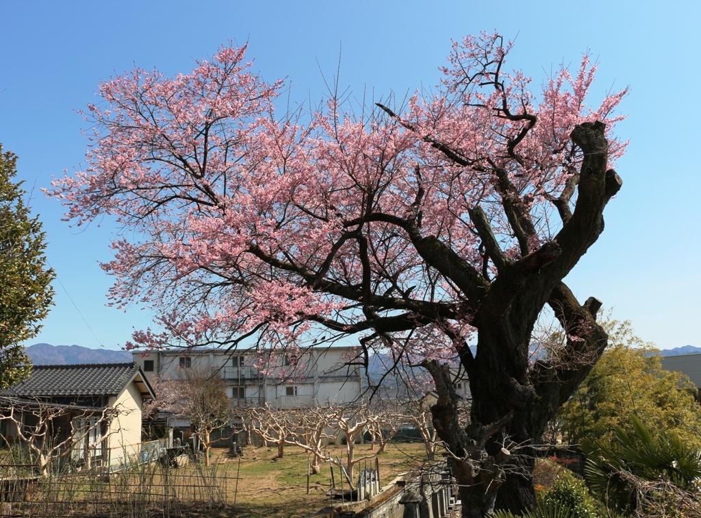 3-26 中安の桜 597