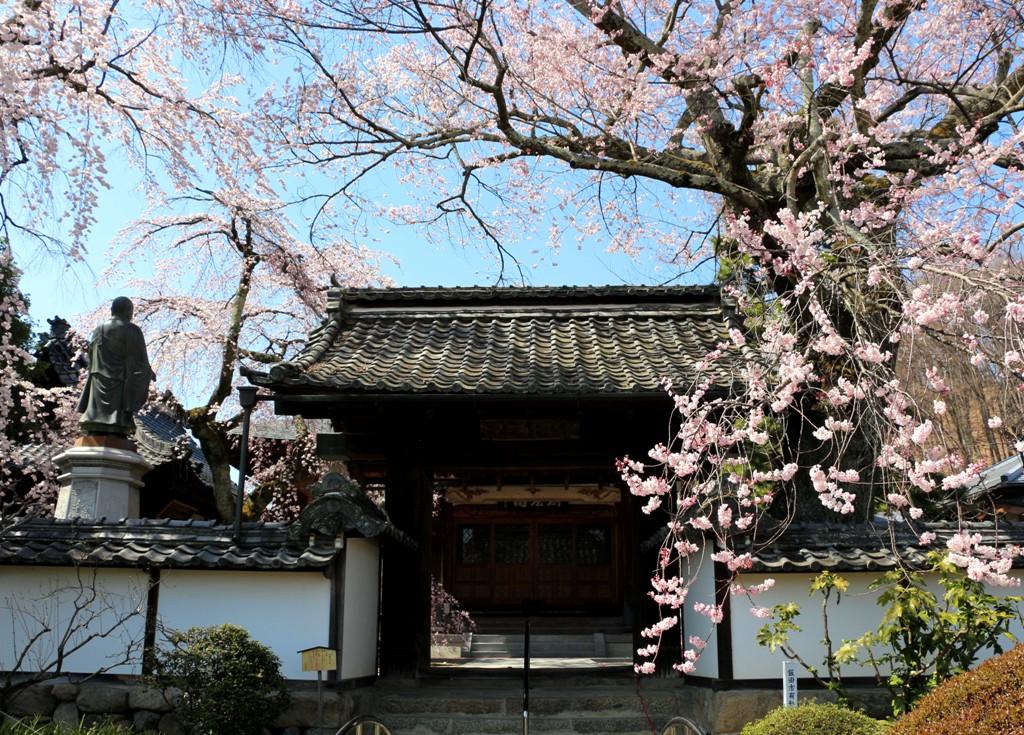 3-26 経蔵寺の桜 595