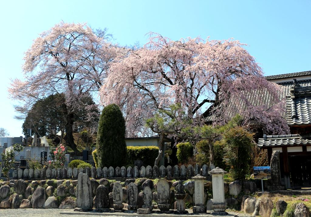 3-26 雲採寺の桜 572