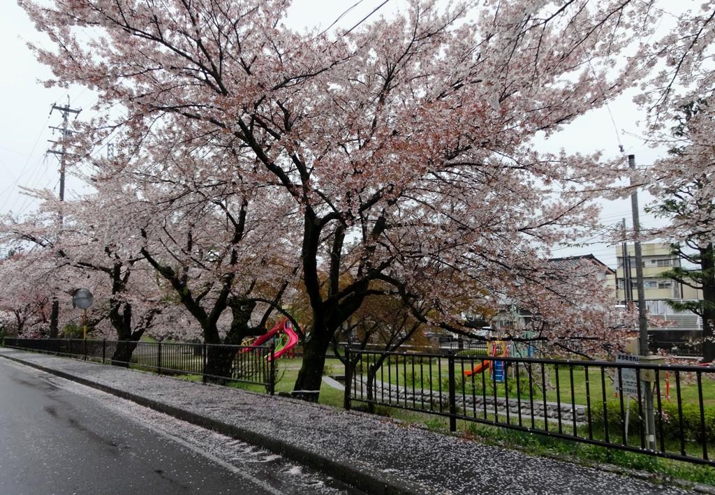 4-13 雨の桜並木 298