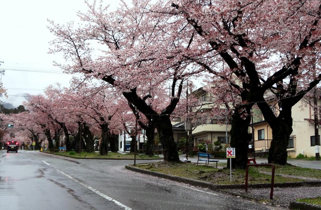 4-13 雨の桜並木 317