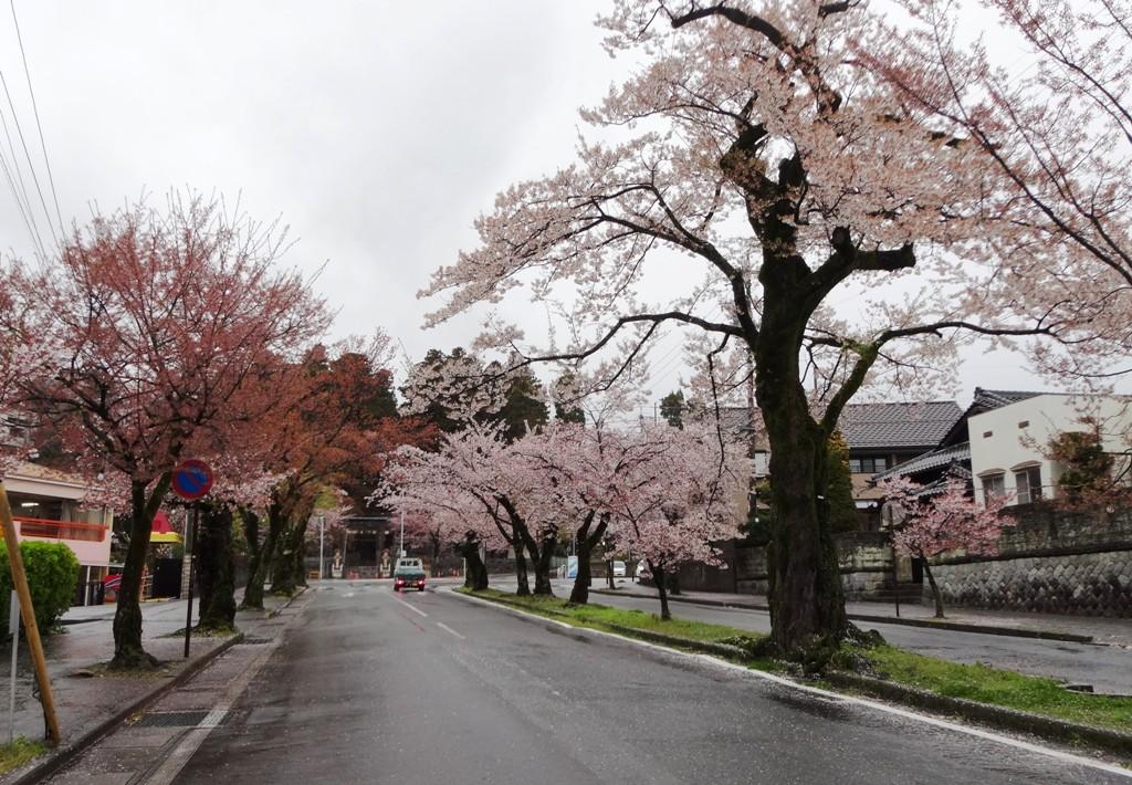4-13 雨の桜並木 320
