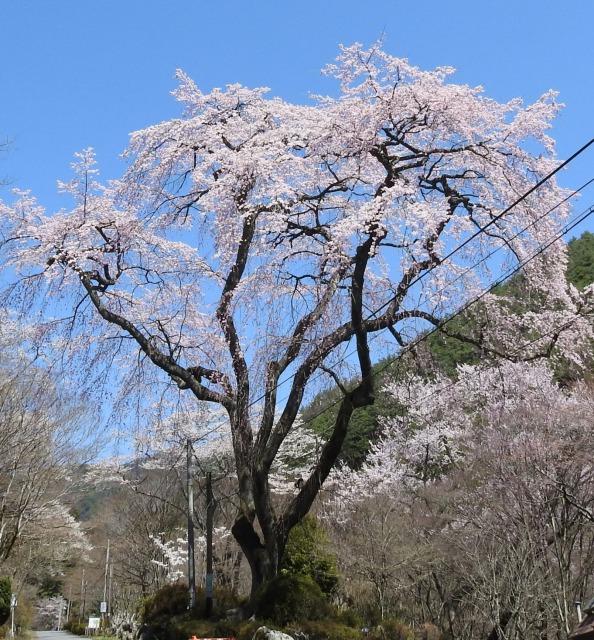 nosokoyama sakura