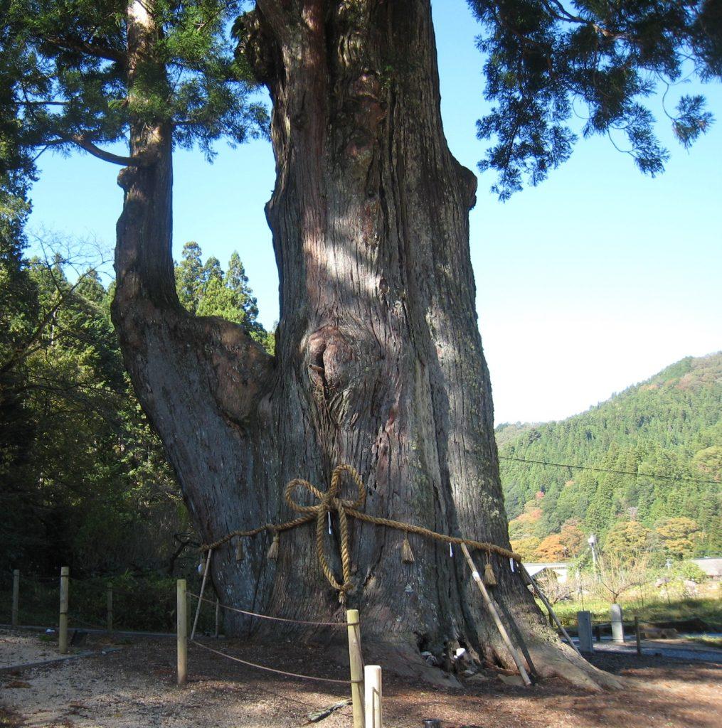 ④月瀬の大杉
